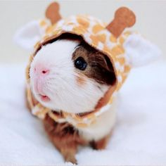 Guinea Pig Fleece Bedding, Tunnels, Beds And Toys - Created By Laura Baby Animals Pictures, Cute Animal Photos, Funny Animal Pictures, Guinea Pig Costumes, Guinea Pig Clothes, Cute Animal Memes, Cute Funny Animals, Cute Dogs, Baby Animals Super Cute