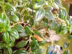 Verde Original: Columéia-Peixinho