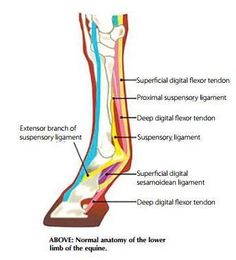 Flexor Tendon Injuries - Horsezone Mobile