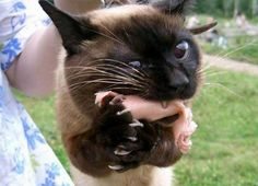 Siamese cats (95 pictures) (78)