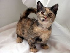 The Skookum- is a hybrid cat breed that was created using two cat breeds with unique and different genetic mutations. It combines the short legs of the Munchkin cat and the Rexed (curly) coat of La Perm cats.