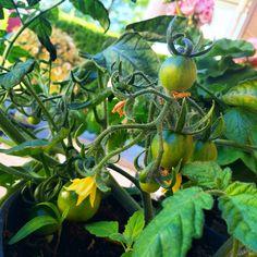 Tomatplanta fra bestefar