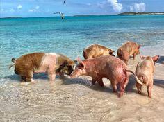 Swimming Pigs, the Exumas Bahamas