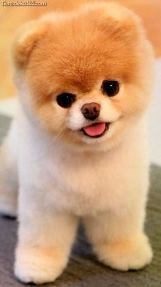 Dogs That Look Like Stuffed Animals (So. Cute 7 Dogs That Look Like Stuffed Animals (So.) Dogs That Look Like Stuffed Animals (So. Cute Dogs And Puppies, I Love Dogs, Puppies Puppies, Cavapoo Puppies, Fluffy Puppies, Teacup Puppies, Teacup Chihuahua, Small Puppies, Small Dogs