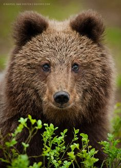 Young Bear - Marsel van Oosten - This was shot from a hide, deep in the forest of Eastern Finland, close to the Russian border.A young brown bear was digging for roots close to my hide. When it heard the first click of my shutter, it looked up - straight into my lens. - Tumblr