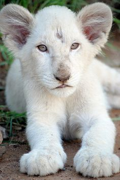 White Lion Cub by  Matielo