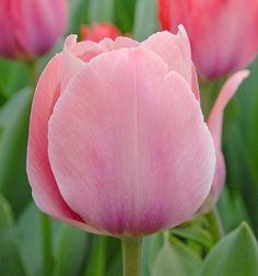Tulp Mystic van Eijk | 40 cm Eind april/begin mei | Plantafstand 12 cm | Plantdiepte 18 cm | Dit jaar voor het eerst dit soort tulpen in de tuin, tot nu toe alleen botanische tulpjes. Deze is haast schrikbarend roze voor eind april ;) #firsttry
