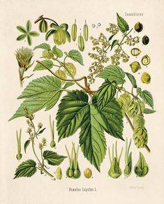 Botanische Hop Humulus Lupulus Print. Jahrgang Reproduktion pädagogische Chart Diagramm Poster von Kohlers Zitrus Bier machen Poster - CP260