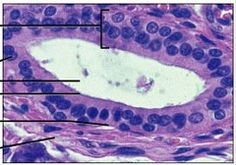 STRATIFIED CUBOIDAL Histology and Skin Flashcards   Quizlet