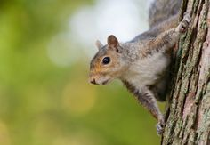 Most of the time, squirrels are completely benign, but sometimes they can cause considerable damage. To get rid of squirrels, don't miss our five-point action plan. Herb Garden Design, Love Garden, Garden Bugs, Garden Pests, Squirrel Repellant, Get Rid Of Squirrels, Bug Identification, Backyard Games, Backyard Ideas