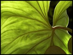 """Leaf (backlit),"" by Talsi1, via Flickr (Beverly Slone)"
