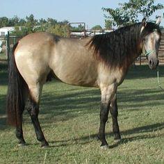 buckskin horse   Gaited Missouri Foxtrotter  Buckskin Trail Horse Sale Breeder ...