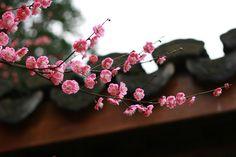 Cherry Tree, Cherry Blossom, Autumn Moon Festival, Plum Flowers, Mid Autumn, Hangzhou, Spring Blossom, Chinese New Year, Botanical Gardens
