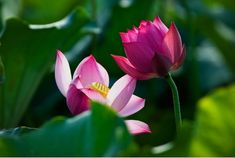 """Side b y Side"" - Beautiful Lotus flowers"