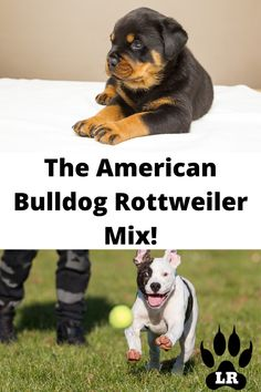 This breed needs an active family who gets the dog's constant drive to become alpha of the pack (humans included!). Be ready for a constant #americanbulldog #AMbulldog #AmericanbulldogRottweilerMix