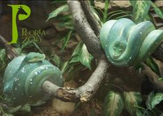 Peoria Zoo's Green Tree Pythons are located in the Tropics Building. Verdi, the beloved children's classic, is about a green tree python!