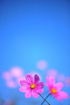 Flowers Photography Wallpaper Texture 19 New Ideas Flower Backgrounds, Flower Wallpaper, Nature Wallpaper, Cosmos Flowers, Flowers Nature, Pink Flowers, Amazing Flowers, Beautiful Flowers, Jolie Photo
