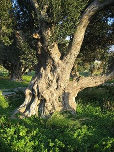 File:Old olive tree in Karystos, Euboia, Greece.jpg