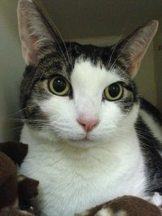 Furman, an adopted Domestic Short Hair & Tiger Mix Cat, from Lowell Humane Society in Lowell, MA on Petfinder. Learn more about Dr. Short Hair Cats, Humane Society, New Friends, Balls, Short Hair Styles, Adoption, Meet, Big, Animals