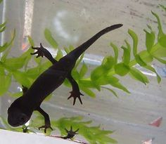 1 Fire-Red- Bellied Newt for Live Freshwater Aquarium Fish. COOL!