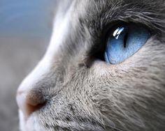 Siam Cat Eye - Pixdaus