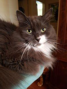 Cats, Animals, Siberian Cat, Gatos, Animales, Animaux, Animal, Cat, Animais