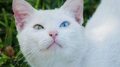 Romeo ... the Turkish Van cat.