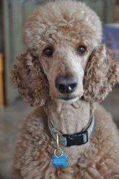 Rouki - Tiens, on dirait une photo de passeport! List Of Animals, Animal List, Cute Animals, Poodle Hair, Teddy Bear Dog, Standard Poodles, Exotic Pets, I Love Dogs, Yorkie