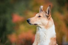 Beautiful Smooth Collie by Mel  on 500px