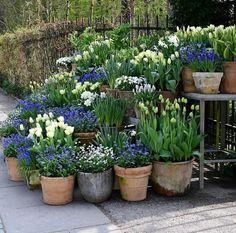 tulips garden care White tulips and forget-me-nots tulips g. - Garden Care tips, Garden ideas,Garden design, Organic Garden Back Gardens, Small Gardens, Outdoor Gardens, Tulips Garden, Garden Planters, Blue Garden, Potted Garden, Spring Garden, Daffodils