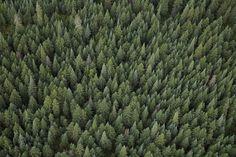 Green treetops fototapet/tapet fra Happywall
