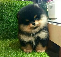 9 Wildly Cute Pomeranian Haircut Styles To Tame The Fluff - Tierbabys - Puppies Baby Animals Pictures, Cute Animal Pictures, Cute Dogs And Puppies, Baby Dogs, Doggies, Puppies Puppies, Fluffy Puppies, Yorkie Dogs, Cute Small Dogs