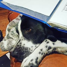 Long suffering Lizzie is doing her nightly duty as a book rest  such a good girl!  #dogsofinstagram #lizzielove #twitter