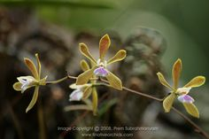 Florida Butterfly Orchid (Encyclia tampensis) - candy striped flowers.
