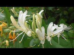LA MADRESELVA: Lonicera japonica (http://riomoros.blogspot.com)
