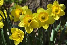 Spring Daffodils Print by Christina Rollo.  All prints are professionally printed, packaged, and shipped within 3 - 4 business days. Choose from multiple sizes and hundreds of frame and mat options.