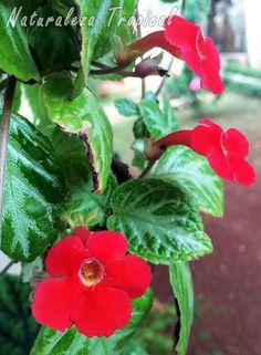 Planta con flores del género Episcia