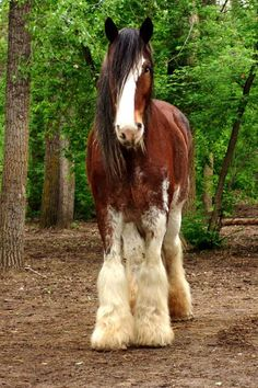 Draft horse - Clydesdale Horse                                                                                                                                                                                 More