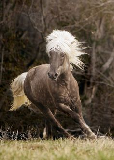 """An Icelandic Horse.                                      """"Some animals are just SO beautiful; they leave a lasting imprint upon your soul."""""""