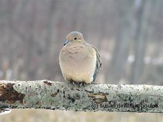 Mourning Dove home cottage decor gift 25 fine by Skybird111FineArt