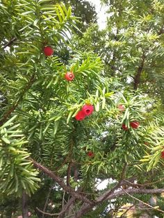 Fruits of Japanese yew (Taxus cuspidata). Edible, but the seed contains fatal poison. イチイの実。食べられるけど、種は猛毒。