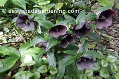 Shade garden purple Hellebore flowers, beautiful shade loving Lenten Rose