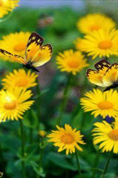 Amarillas mariposas y margaritas Sunflowers And Daisies, Yellow Flowers, Flower Images, Flower Art, Beautiful Butterflies, Beautiful Flowers, 3 Chakra, Gif Bonito, Beau Gif