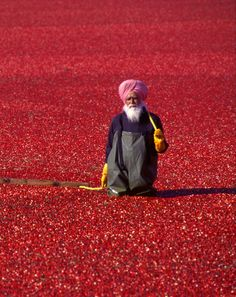 Cranberry harvest - India - Explore the World with Travel Nerd Nici, one Country at a Time. http://travelnerdnici.com/