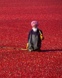 Cranberry Harvest - India