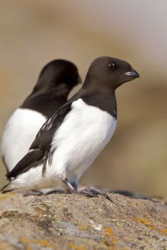 Little Auk. They live in the high arctic in thousands lay eggs on sticks in shelter of rocks or cave.