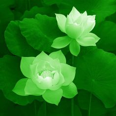 Next ink must be a green lotus.