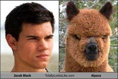Jacob vs. Alpaca