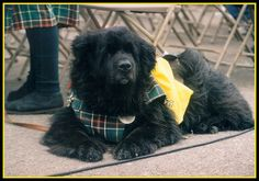 Cabot relaxing during parade in Newfoundland, Canada Newfoundland And Labrador, Newfoundland Canada, Mans Best Friend, Best Friends, True Gift, Gentle Giant, Big Love, Puppy Love, Puppies