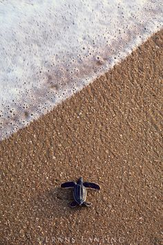 Leatherback sea turtle hatchling, Dermochelys coriacea, Galibi National Reserve, Surinam